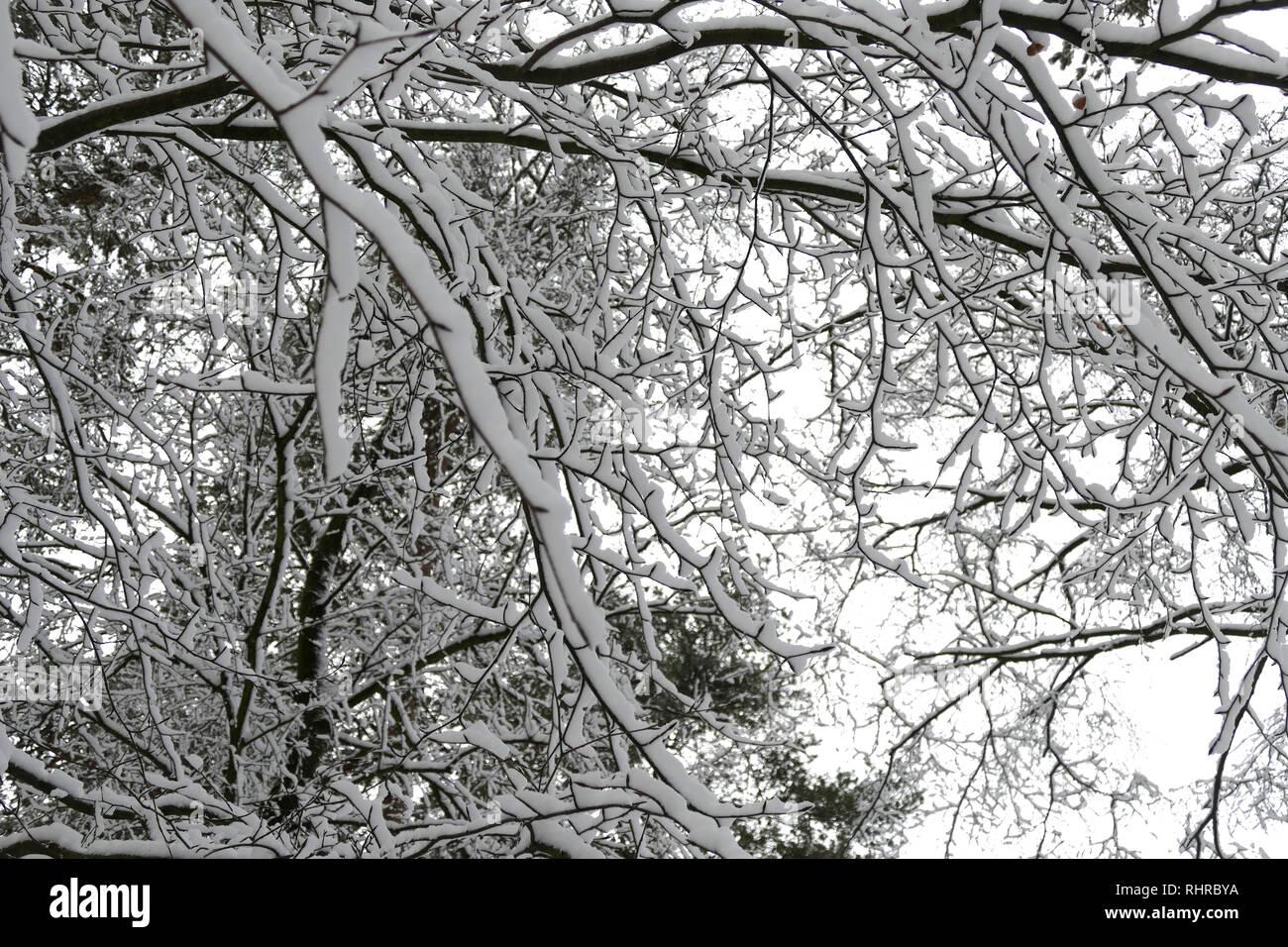 Snow fall on Haldon Forest park, Exeter, Devon Stock Photo