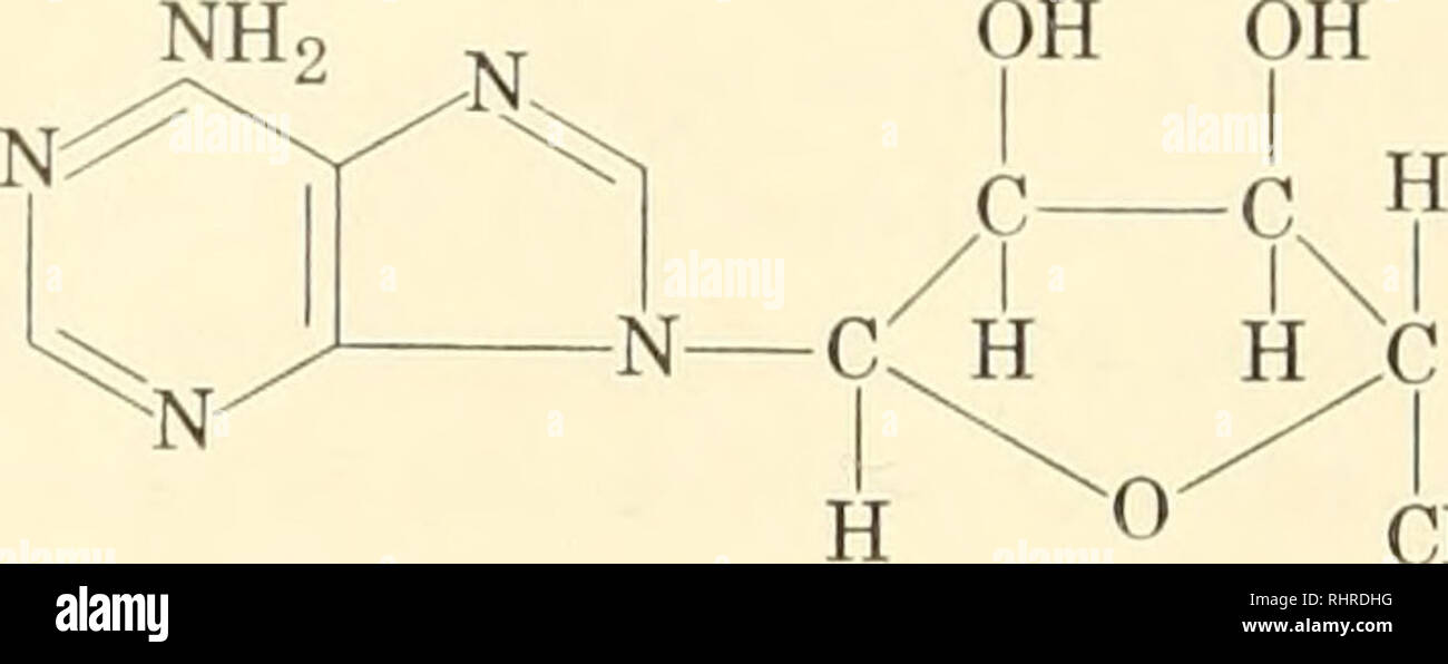 . Biochemistry of plants and animals, an introduction. Biochemistry. 122 GENERAL BIOCHEMISTRY These nucleosides are esterified with phosphoric acid in the nucleo- tides. Any of the available hydroxyl groups could participate and do, at least under special conditions. In the nucleic acids, however, the ester bonds probably involve only the hydroxyl groups of carbons three and five of either ribose or deoxyribose. Adenylic acid is a typical. CHaOPOg adenosine-5'-phosphate adenyhc acid (from muscle) nucleotide. The nomenclature of all these related compounds may be summarized thus: Base Nucleosid - Stock Image