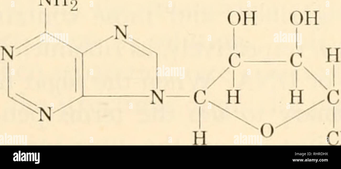 . Biochemistry of plants and animals, an introduction. Biochemistry. NH adenine guanine with others known from metabolic processes. These bases are con- densed by way of the semiacetal forms of D-ribose and D-deoxyribose to form ribonucleosides and deoxyribonucleosides, respectively. Not all possible combinations are known. Cytosine, uracil, adenine, and guanine are found attached to ribose and cytosine, methylcytosine, hydroxymethylcytosine, thymine, adenine, and guanine with the deoxy sugar. The linkages are similar for all pyrimidines on the one hand and for the purines on the other. Thus,  - Stock Image