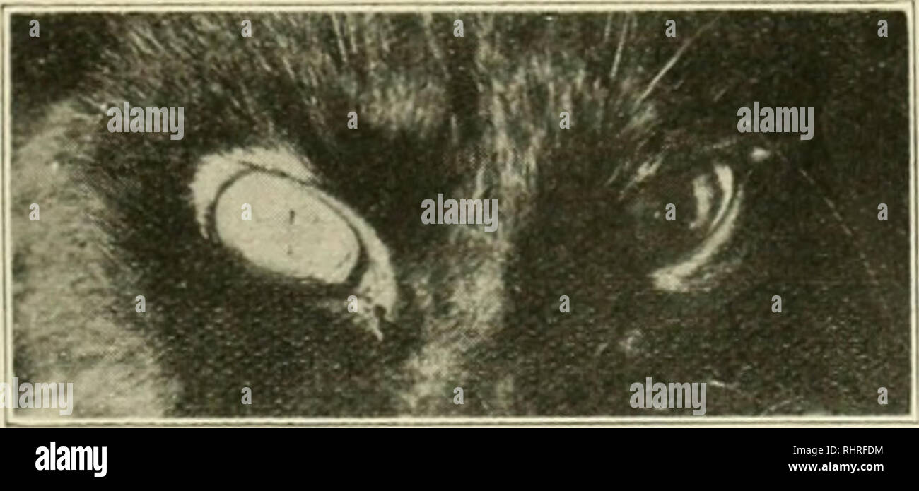 """. The Biochemical journal, 1912. Biochemistry. Fks. IV.—Cat. Ether. Pregnant. Effect ot Id nigni. indolothylamine. Uterine Contmetions Bloixl Pressure, •. Flu. '.—Cat. Pithed brain. Circulation to left eye impaired by cannula in left common carotid. Effect of 20 mgm. indolethylamine on pupil of right and left. hypodermically. It can only be produced by intravenous administration to an intact animal or one which is anatomically anaesthetised. Instillation, like hypodermic administration, is without effect. Other ylaiii muscle. The plain muscle of the intestine is mildh"""" stimulated by indo - Stock Image"""