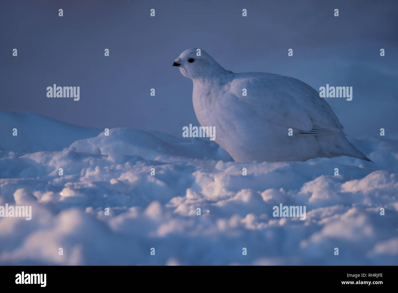 A Willow Ptarmigan catches the last dim rays of the setting arctic sun in Yellowknife, Northwest Territories, Canada. - Stock Image