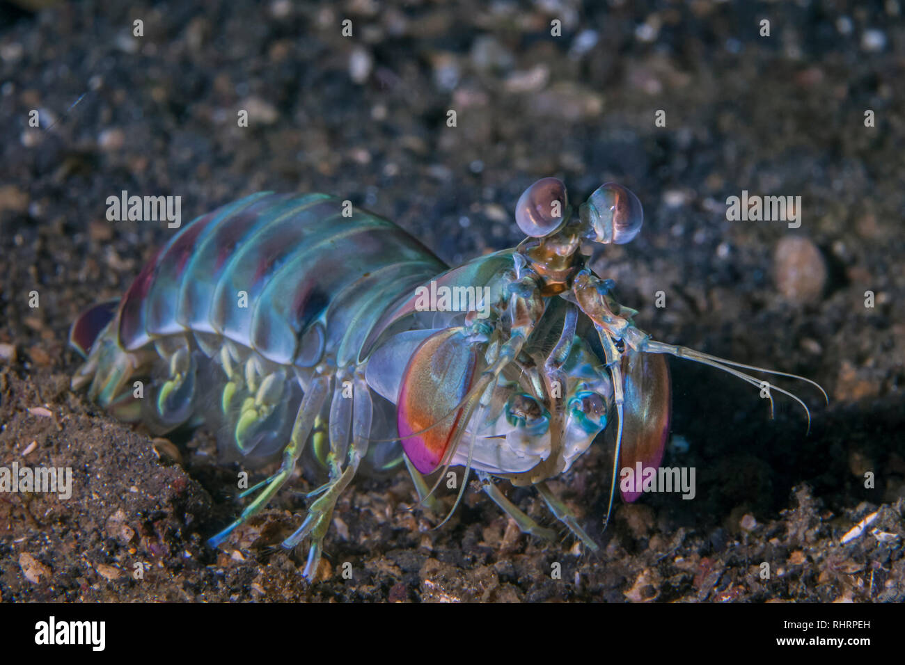 Keel Tail Manis Shrimp (Odontodactylus cultrifer) foraging on the sea floor of Lembeh Straits, Indonesia. - Stock Image