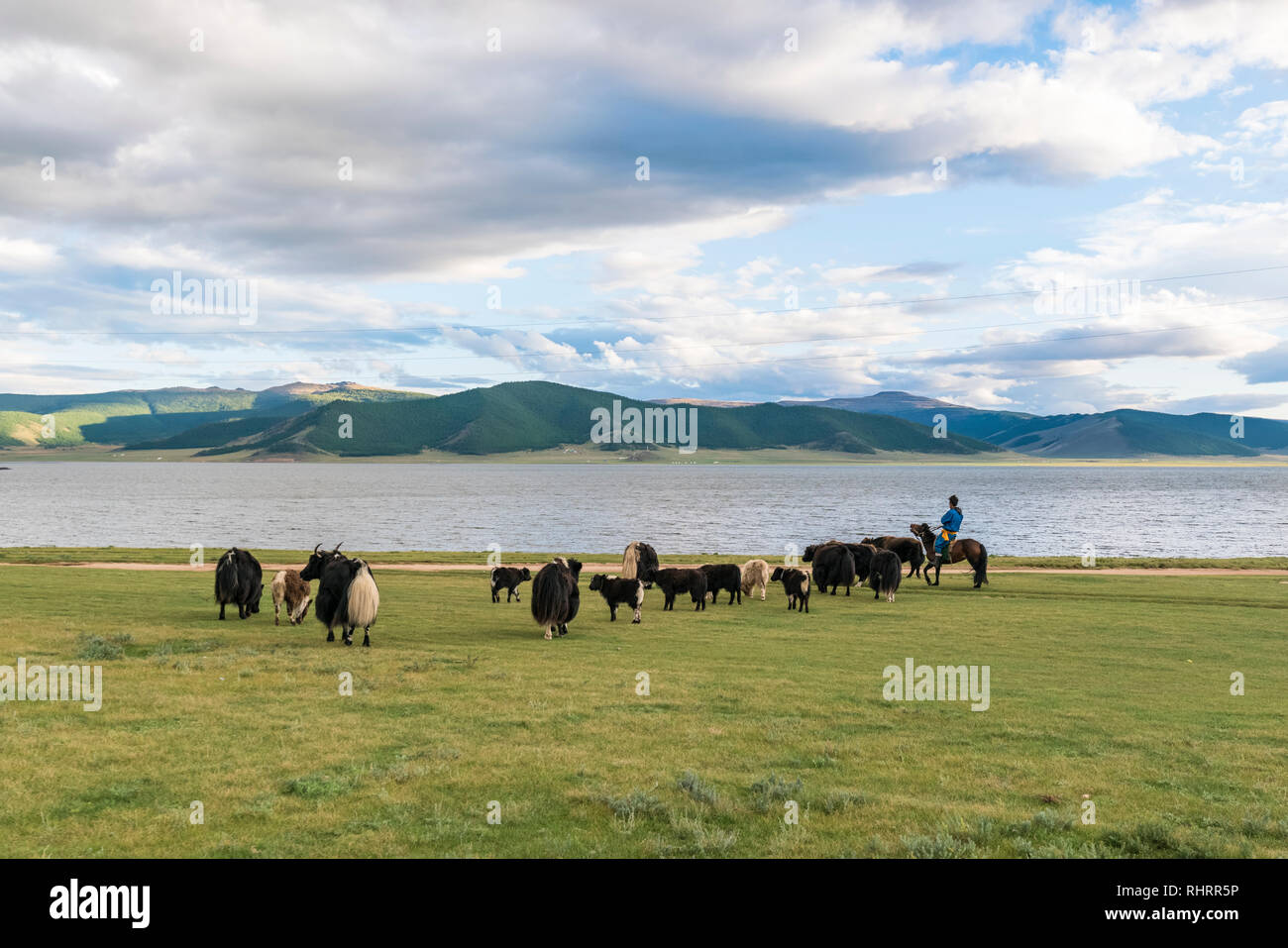 Shepherd on horse gathering his flock of yaks on the shores of White Lake. Tariat district, North Hangay province, Mongolia. - Stock Image