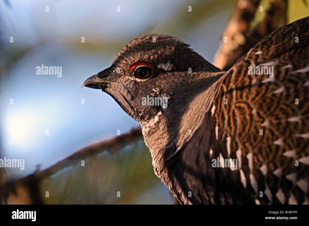 Spruce grouse in a conifer forest in fall. Kootenai National Forest in the Purcell Mountains, northwest Montana. - Stock Image
