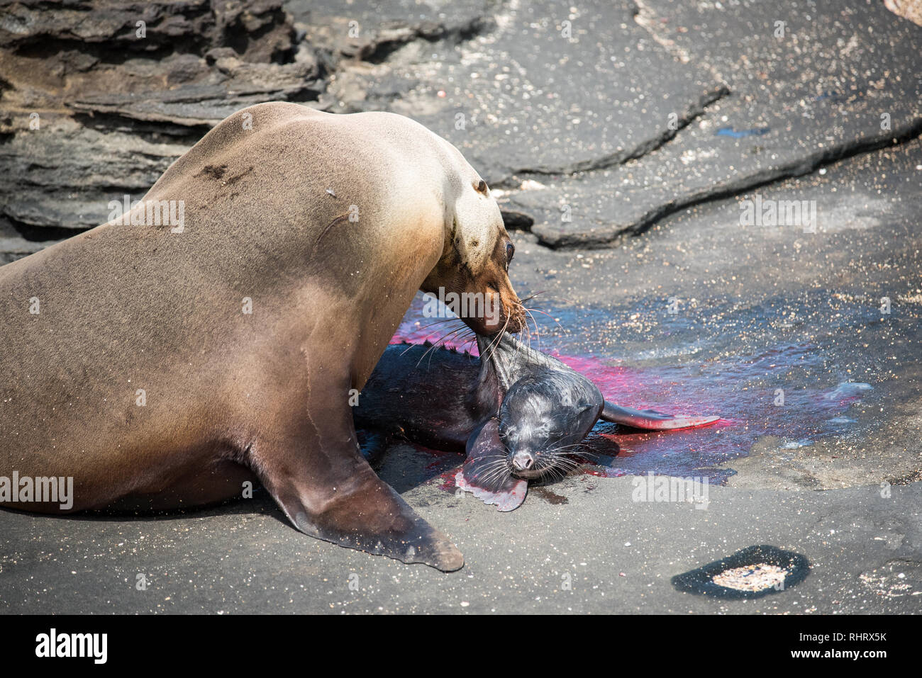 We were extremely fortunate to witness a pregnant sea lion giving birth to her pub while exploring the Galapagos Islands. This shot captures the first - Stock Image