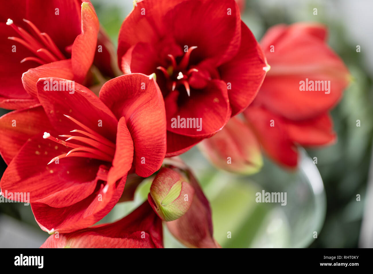 Close up of a red amaryllis. Amaryllis flowers in Glass vase. Flower shop concept, Wallpaper Stock Photo