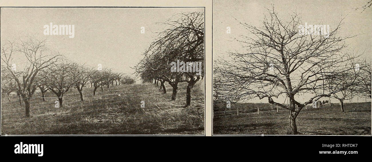 . Better fruit. Fruit-culture. Page 44 BETTER FRUIT October. One of the Earlier Planted Commercial Orchards, and Still Very Productive The trees have plenty of room and have been well cared for An Apple Tree in Which the Central Leader Has Been Allowed to Develop ings of New York. Success with this method depends largely upon the amount of herbage produced with which to form a mulch when cut. To insure the required amount the occa- sional breaking up and reseeding of the ground is necessitated. It is not likely to succeed well with old orchards, especially those that are closely planted, for t - Stock Image