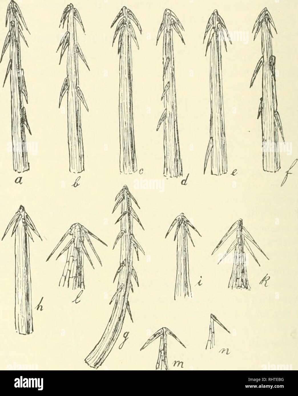. Bibliotheca botanica. Plants. loG Als Heimat der .1. qlnurophylhi ist wahrseheinlich Patagonien oder Feuerland an/.us(>lii'n, woher sie, wie ich glaube, durch Düsen nach dem Hortus Bergianus zu Albano-Stockholm und dem Bota- nischen Garten Upsala als A. laevigatu in Gestalt von Früchten importiert sein mag. Ich habe sie seit mehreren Jahren in Kultur. Ihre große Widerstandsfähigkeit gegen die Kälte des Winters läßt jedenfalls auf eine unserem norddeutschen Klima entsprechende Heimat schließen. Besonderen Nachdruck muß ich hier darauf legen, daß außer den vier kräftigeren Stacheln in dem Z Stock Photo