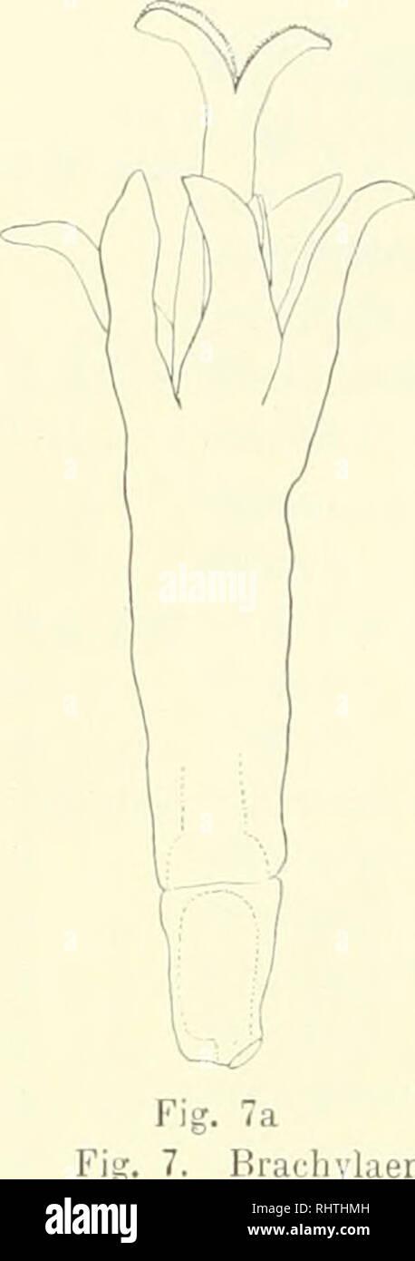 . Bibliotheca botanica. Plants. — 18 — '): rein gvnomonocisehen Individuen her. In Fig. 7 ist die Zwitterblüte von Brarhi/I. nereifolia (a) und ilir Uebergang in die weibliche Form dargestellt. Die Entwicklung der Einzelblüten erfolgt ganz in dersell)en AVeise wie bei den Species des vorigen Schema. Anders ver- lialten sich die Blütenköpfchen. Es lassen sich aber die (lyno- diöcisten, d. h. deren gyniicische Individuen, leicht von den gj'nomonöcischen ableiten. Wir brauclien uns nur vorzustellen, dass in einem Zwitterköpfchen die Verweiblicliung nicht nur die Randblüten ergreift (Cxynomonöcie Stock Photo