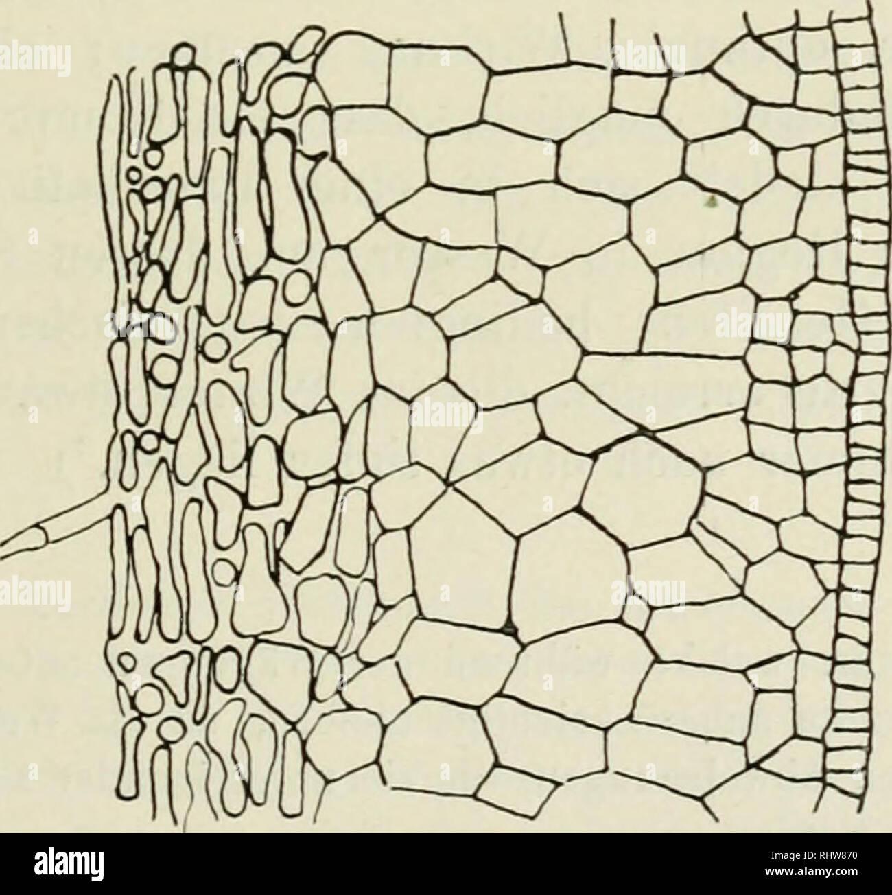 . Berichte der Deutschen Botanischen Gesellschaft. Plants; Plants -- Germany. Fig. 2.. Fig. 3. Ein Blick auf diese Tabellen zeigt zunächst, dass die Werte in den einzelnen Rubriken untereinander grosse Verschiedenheiten aufweisen, schon in der ersten Decimale zeigen sich erhebliche Ab- 2) Vgl. WiEDEMANN und Ebekt, Pbysikal. Praktikum, 1890, S. 64.. Please note that these images are extracted from scanned page images that may have been digitally enhanced for readability - coloration and appearance of these illustrations may not perfectly resemble the original work.. Deutsche Botanische Gesellsc - Stock Image