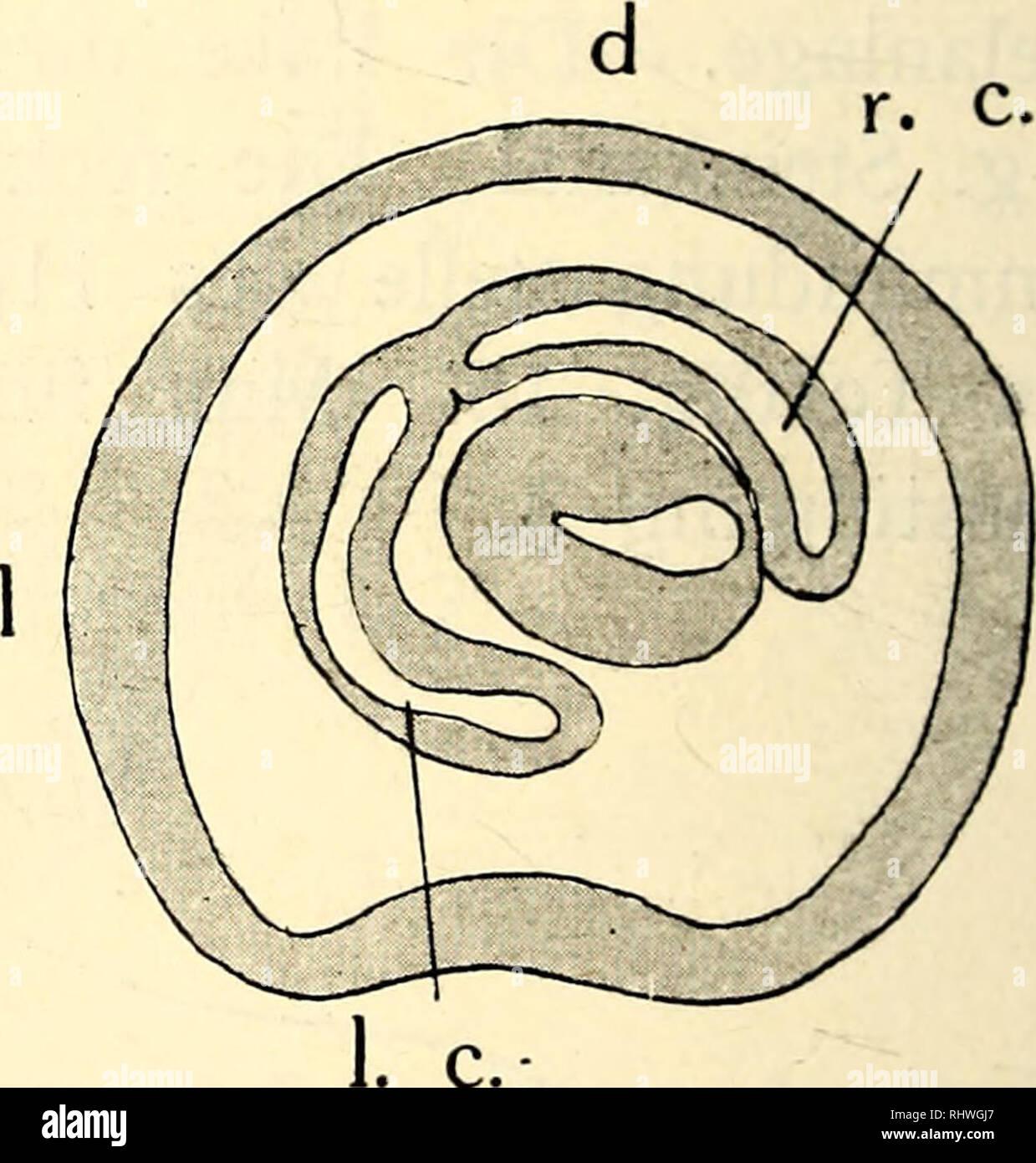 . Bergens Museums aarbok. Science; Natural history. v. v. Textfig. 17 c. Textfig. 17 d. Querschnitte durch eine Larve von dem Stadium der Fig. 37—38, Taf. VI um die Ausbildung des Coloms in dem hinteren Teile der Larve zu zeigen. Aus der Textfig. 16 und 18 a geht auch hervor, dass das linke Colom noch an diesem Stadium mit dem Hydrocoel in Verbindung steht. Um die Colomverhåltnisse in dem hinteren Teile der Larve zu studieren, wenden wir uns zur Textfig. 17. In dem hintersten Teile finden wir linkes und rechtes Colom von einander getrennt. Dieses hat vor allem eine dorsale Lage, jenes streckt  Stock Photo