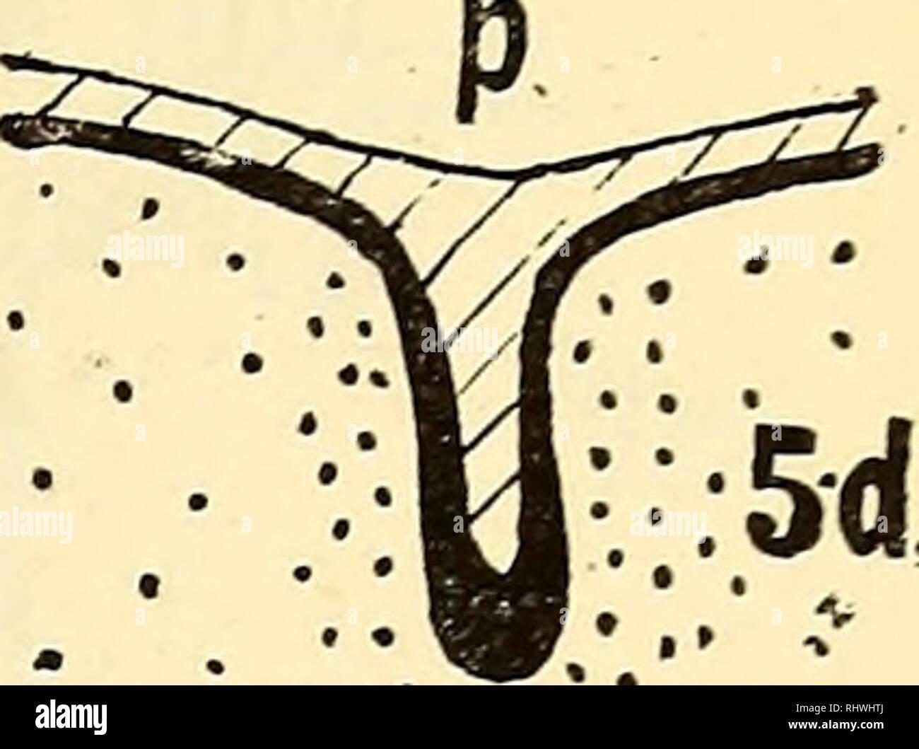 ". Bergens Museums aarbok. Science; Natural history. Fig. 5 (a, b, c, d). ""D"" Tversnit gjennem venstre mammarorgan (skaaret caudal—cranial) 5 a, b, c, d — snit 85, 87, 96, 100. Sort — storkjernede celler. Skravert — polygonale celler. Punktert — mesoderm. X 43. meget smalt nær overflaten, bare 10—20 ^., mens det nær bunden har en vidde av 200 fi. (0,2 mm.) To rekonstruktioner av det venstre anlæg viser dettes form (fig. 16 og 17, pl. II). Fra bunden av mammaranlægget sænker sig indover i mesodermet en solid utvekst, kjertelanlægget, kølleformet opsvulmet i den nedre del. Like neden- for de - Stock Image"