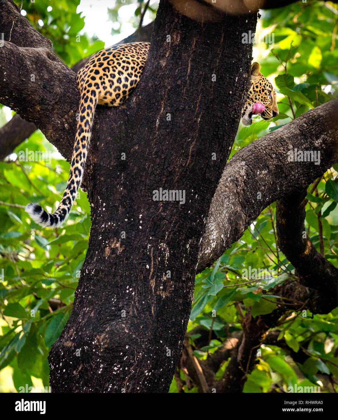 a leopard relaxing on a branch after having a meal further up in the tree Stock Photo