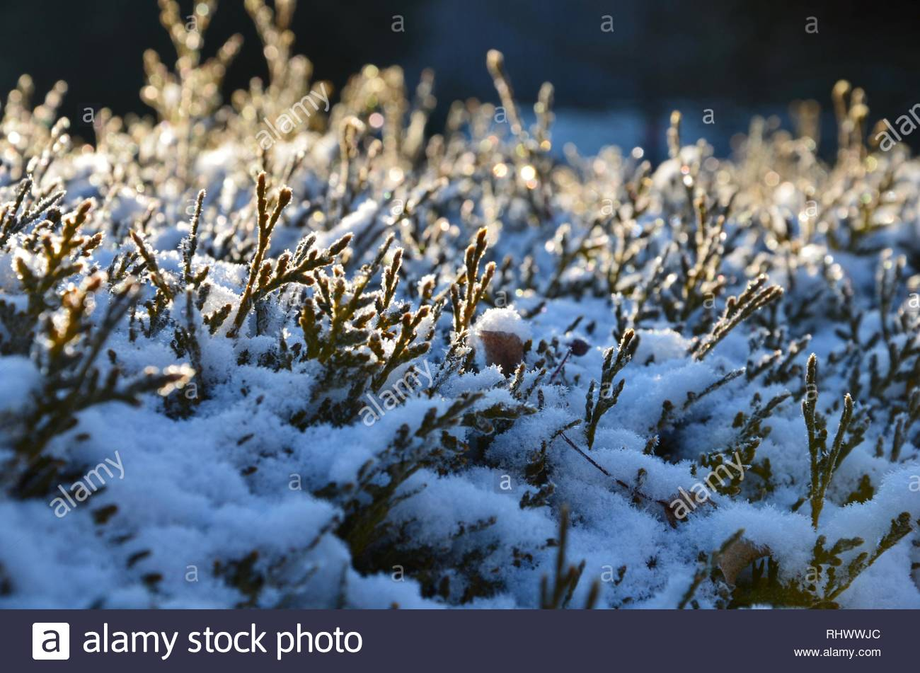 Closeup of conifers covered with snow, frosty winter morning, reflections of sunlight on the peaks, season, background, calendar, natural environment - Stock Image