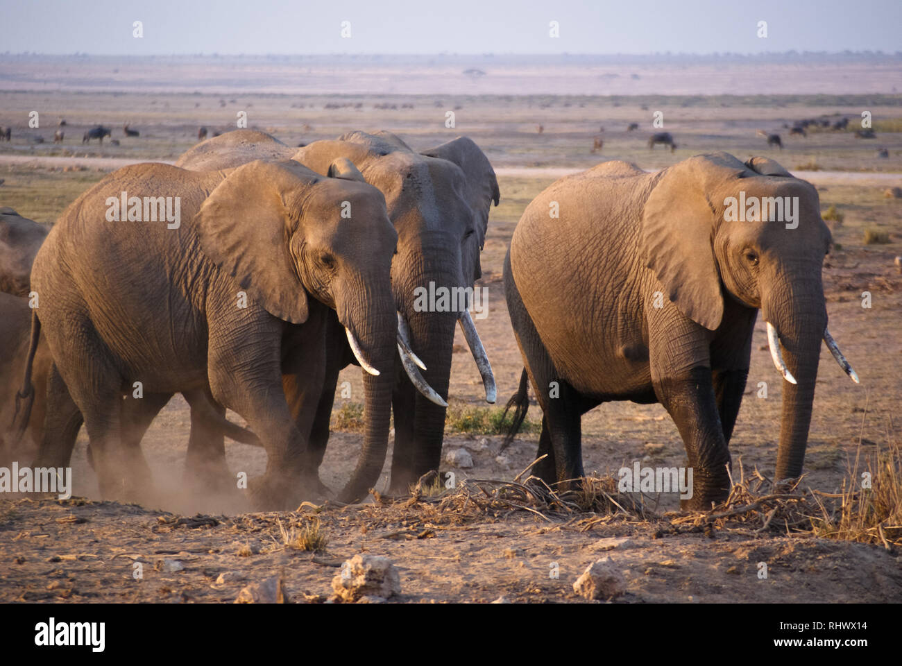 Elephant herd in Amboseli National Park - Stock Image