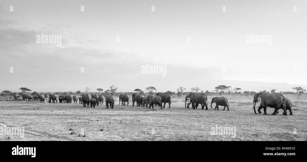 giant Elephant herd captured in Amboseli National Park - Stock Image