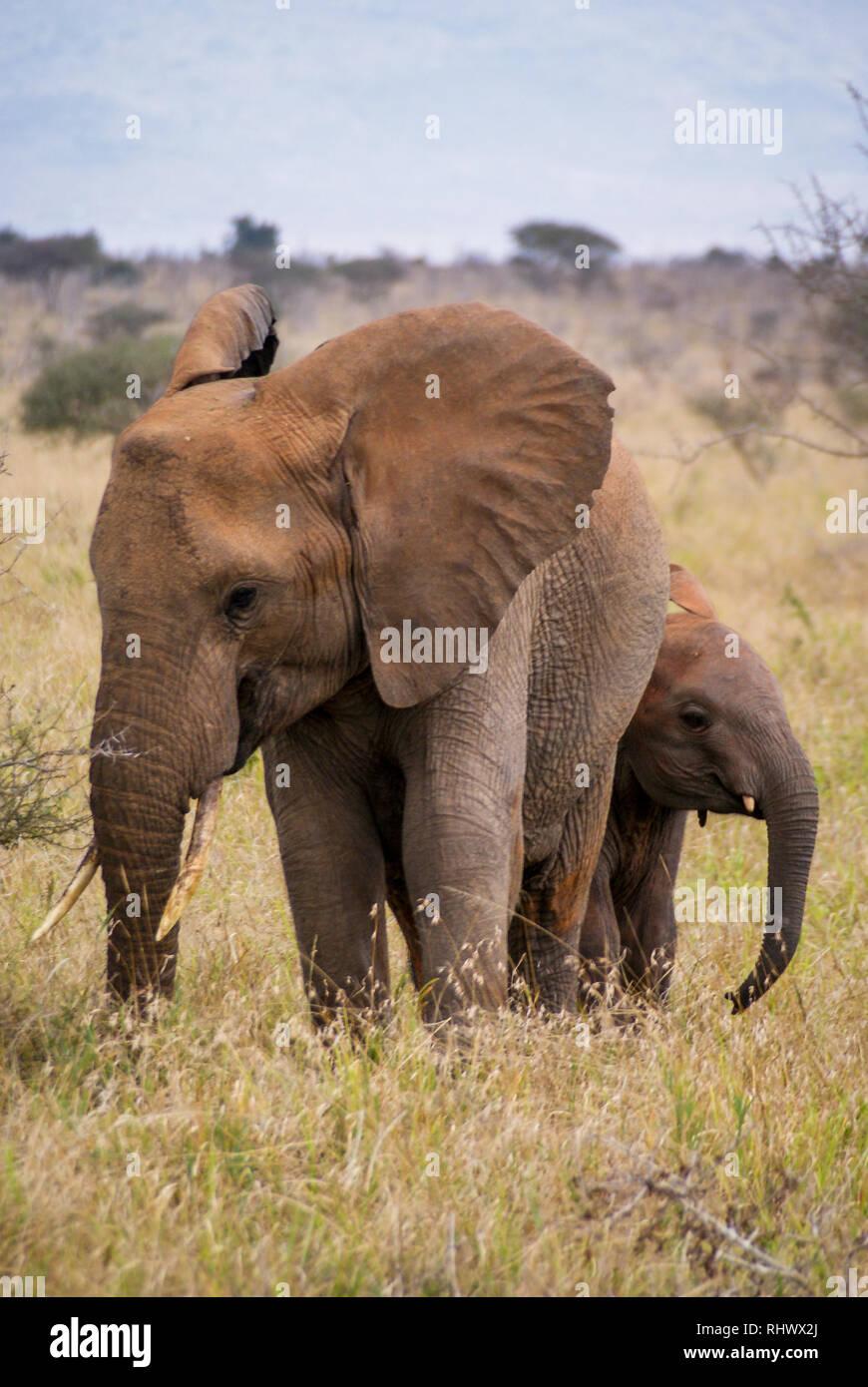 double elephant in Tsavo National Park - Stock Image