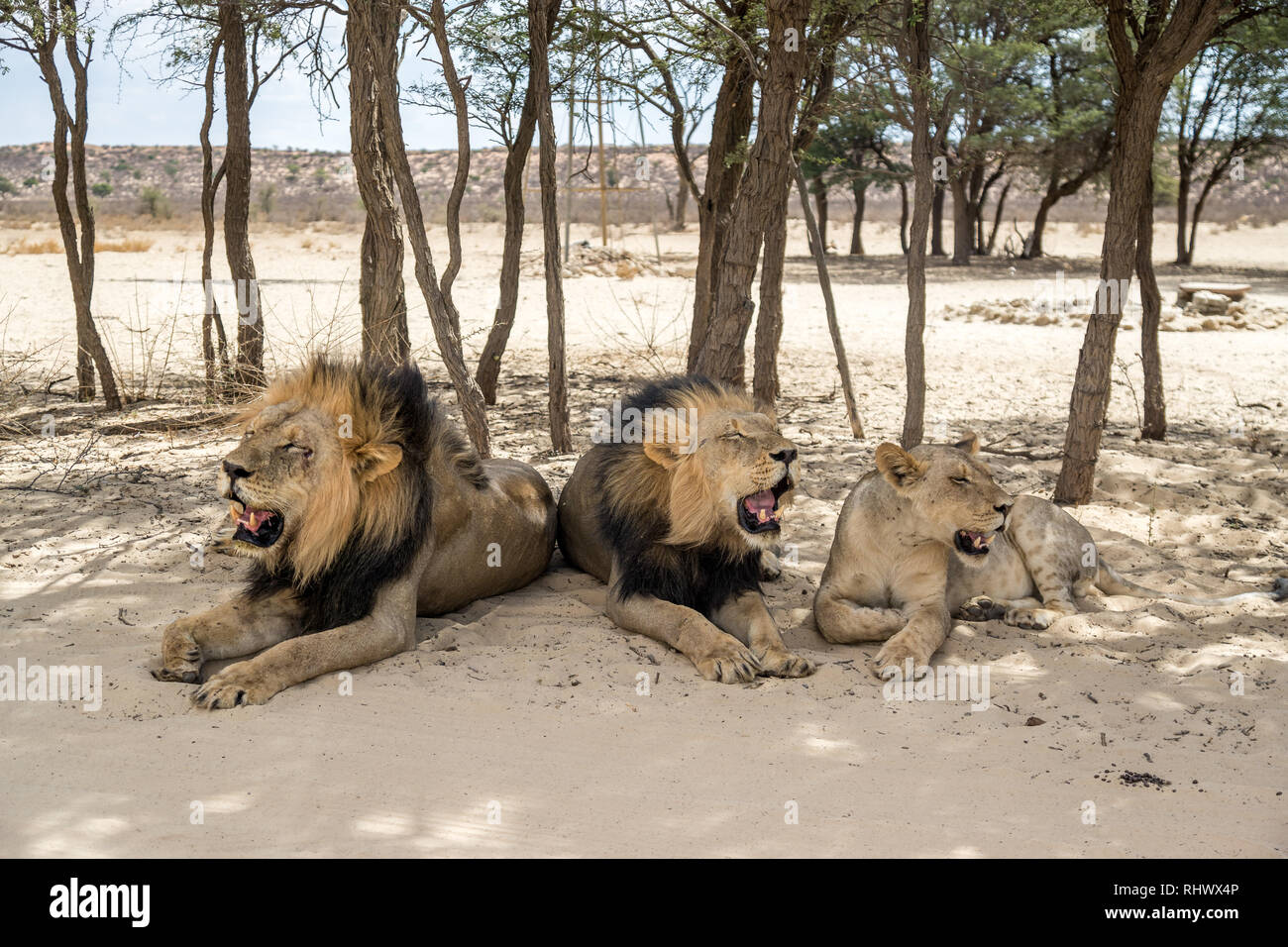 three lions in the shadow of trees in Kgalagadi Transfrontier Park - Stock Image