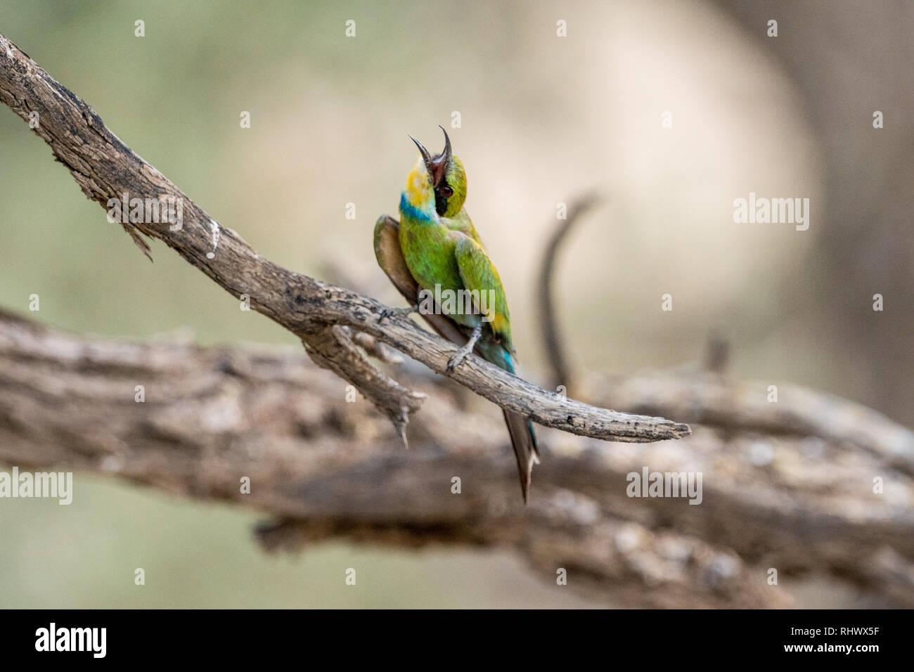 a wonderful Bee-eater in the Kalahari - Stock Image