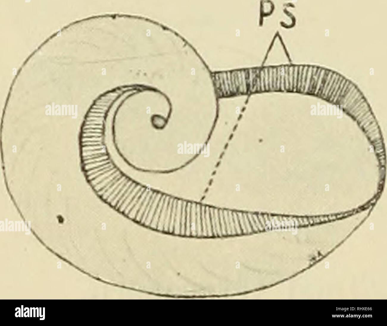 . Beiträge zur Kenntnis der einheimischen Vitrinen. Zonitidae; Stylommatophora. Textfig. 6. Schale von Vitrina clongata. a b Textfig. 5 a u. b. Schale von Vitrina clongata. elongata größer und untereinander weiter gestellt; bei V. pellucida an sich kleiner, aber zahlreicher. Bei stärkerer Vergrößerung sieht man, daß jede Vertiefung ein rund begrenztes Feld siebartiger Grübchen darstellt. Das zweite, nächst der Schale charakteristische Gattungsmerkmal der Vitrinen ist die Ausbildung des Mantels. Er scheint in einer funk- tionellen Beziehung zur Schale zu stehen, die bei anderen Gruppen nicht an Stock Photo