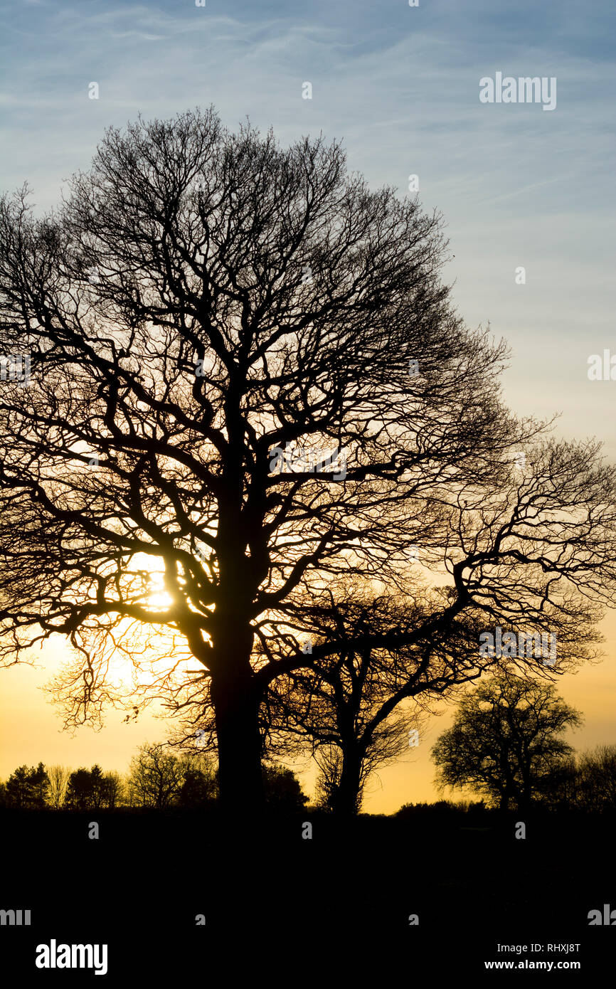 Oak trees (Quercus robur) silhouetted in winter, Warwickshire, UK - Stock Image