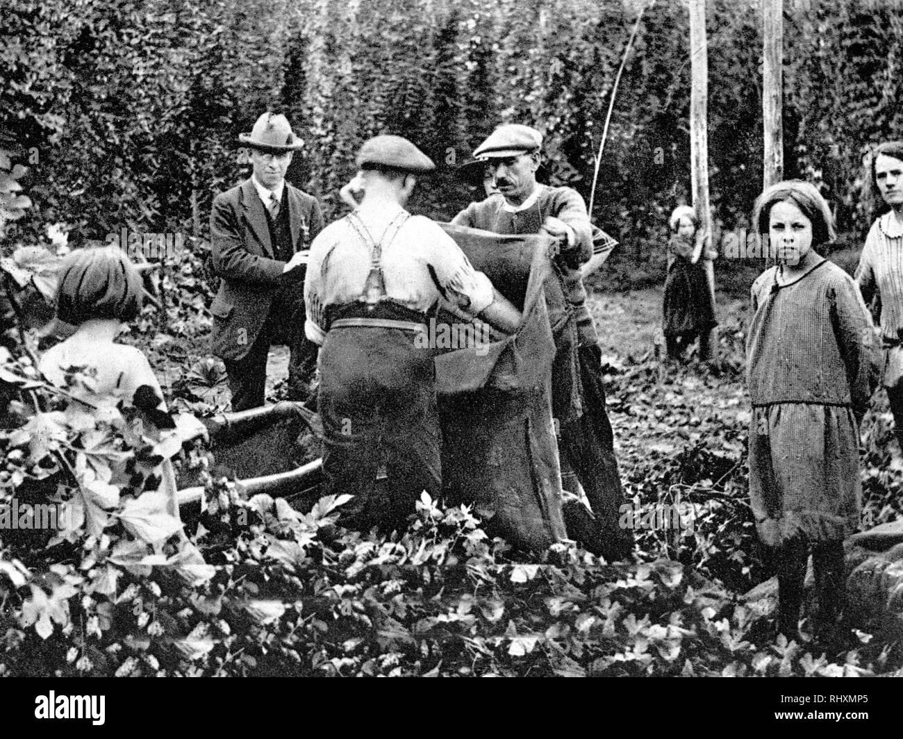 Hop picking - Stock Image