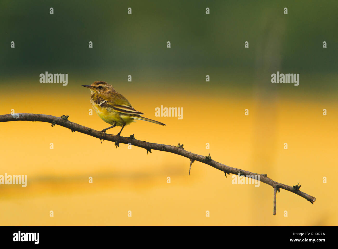 Yellow wagtail bird on a branch - Stock Image