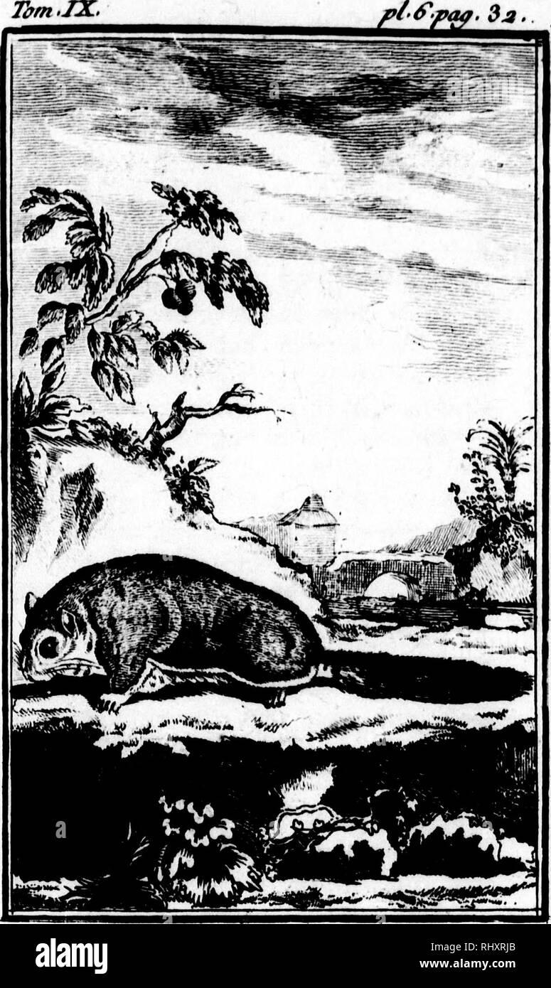 """. Histoire naturelle, générale et particulière [microforme]. Sciences naturelles; Natural history. Tûm.IX. nt le Jour; le foir. Il is il eil en ^ il faut le cher avec it de pain, fur - tout les du pin point les écureuils; s lequel il lit le jour, sd la faim ; vivacité, î martes & ent fur les lie cll-ellc il produiftt etits. î .:j"""". JLIi POLATOUCILE .. Please note that these images are extracted from scanned page images that may have been digitally enhanced for readability - coloration and appearance of these illustrations may not perfectly resemble the original work.. Buffon, Georges  Stock Photo"""