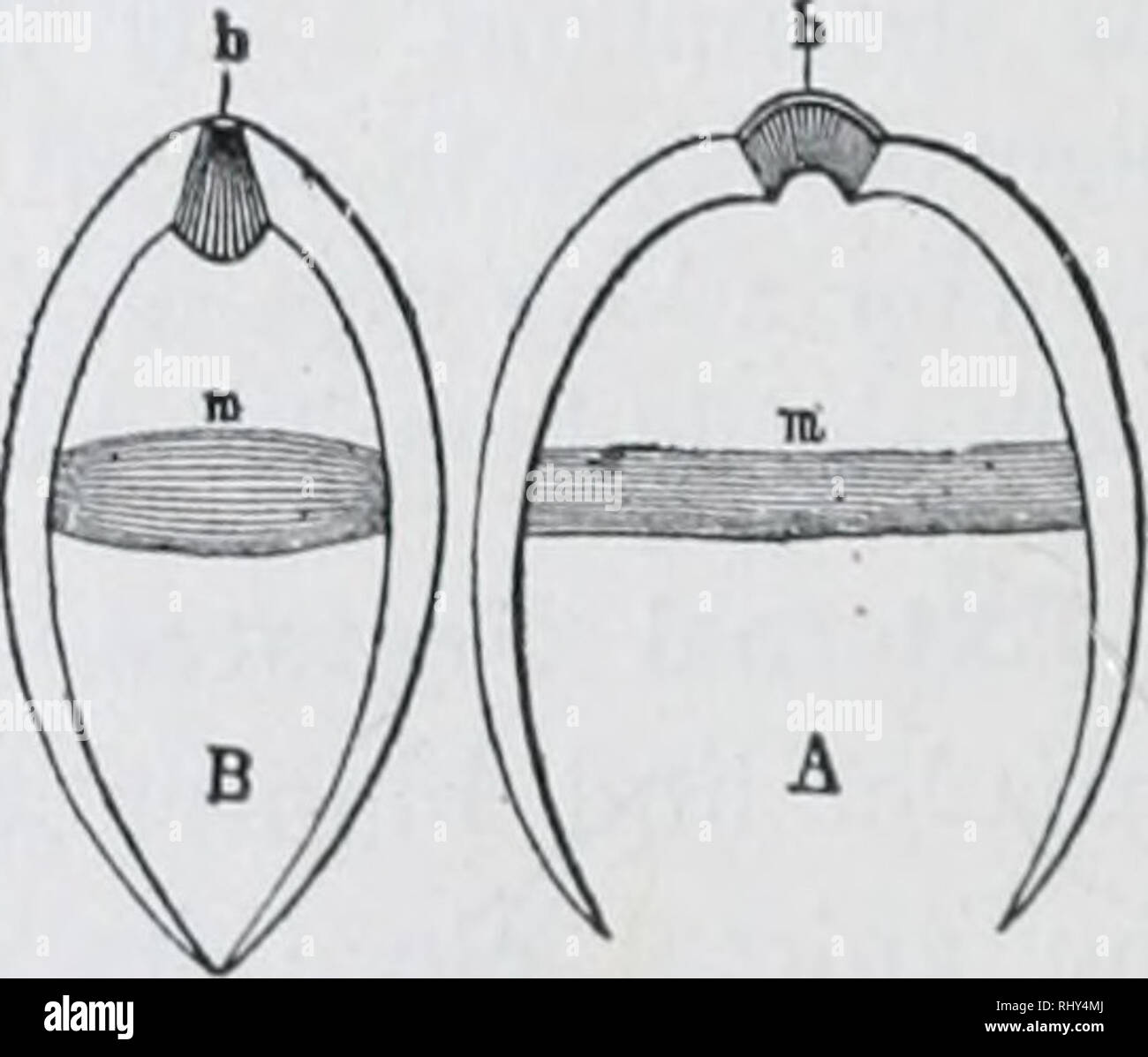 zoology  fig  i88 - - anodon, or fresh-water mussel  shells for valves in  pumps  lay the shells, fitted together, in your hand with the hingt side  away from