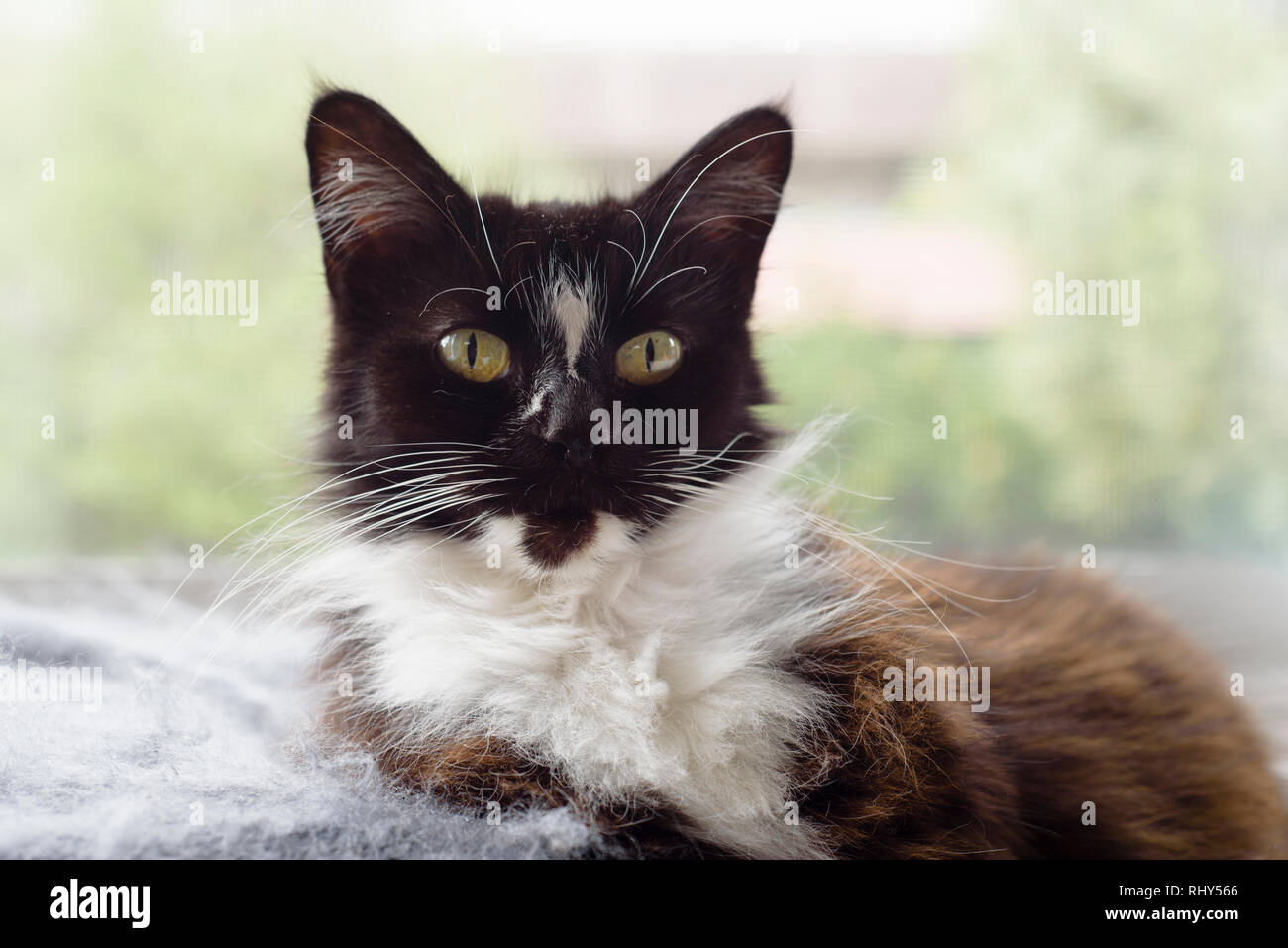 Domestic Medium Hair Stock Photos Domestic Medium Hair Stock