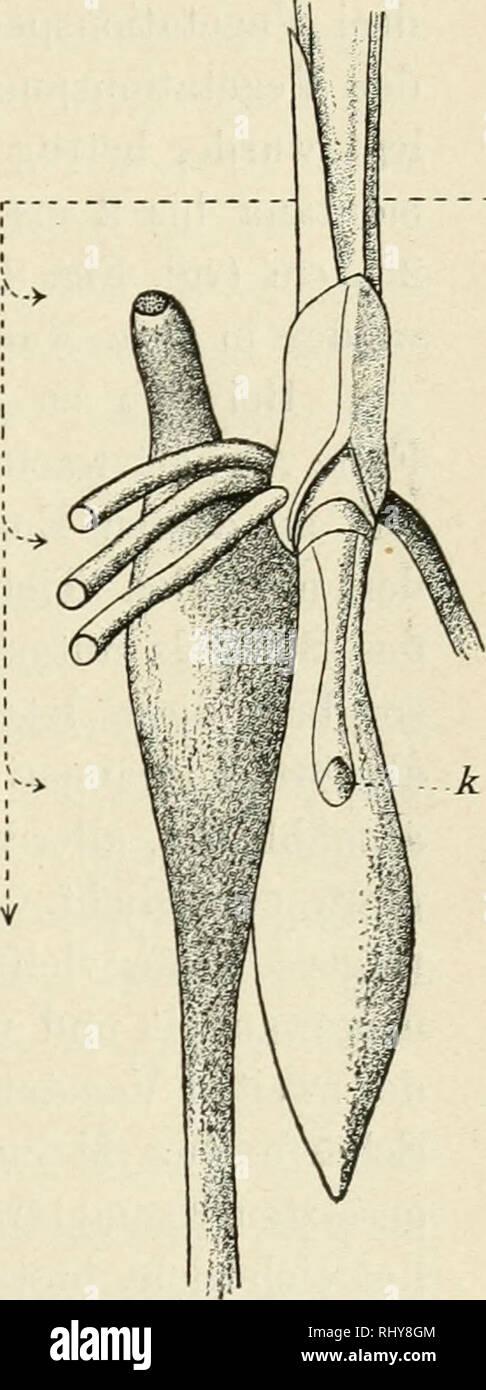 . Beitrge zur wissenschaftlichen Botanik. Plants. Figur 8 und 9. Orchis mascula. Medianer Längsschnitt. In der Bliite. Figur 8 hochsitzend und absteigend; aus einer der Figur 9 gleichen Form gezüchtet. Figur 9 tiefsitzend und auf- steigend; aus einer der Figur 8 gleichen Form gezüchtet. — Natürliche Grösse.. Figur 10. Platanthera montana. In der Blüte. Aus einem horizon- tal wachsenden Exemplar durch oberflächliche Kultur gezüchtet. Die nebenstehendenPfeile deuten auf die jeweilige Lage der Knospe k und geben den Betrag des jähr- lichen Abwärtsrückens an. — Natürliche Grösse. Gleiche Versuche  Stock Photo