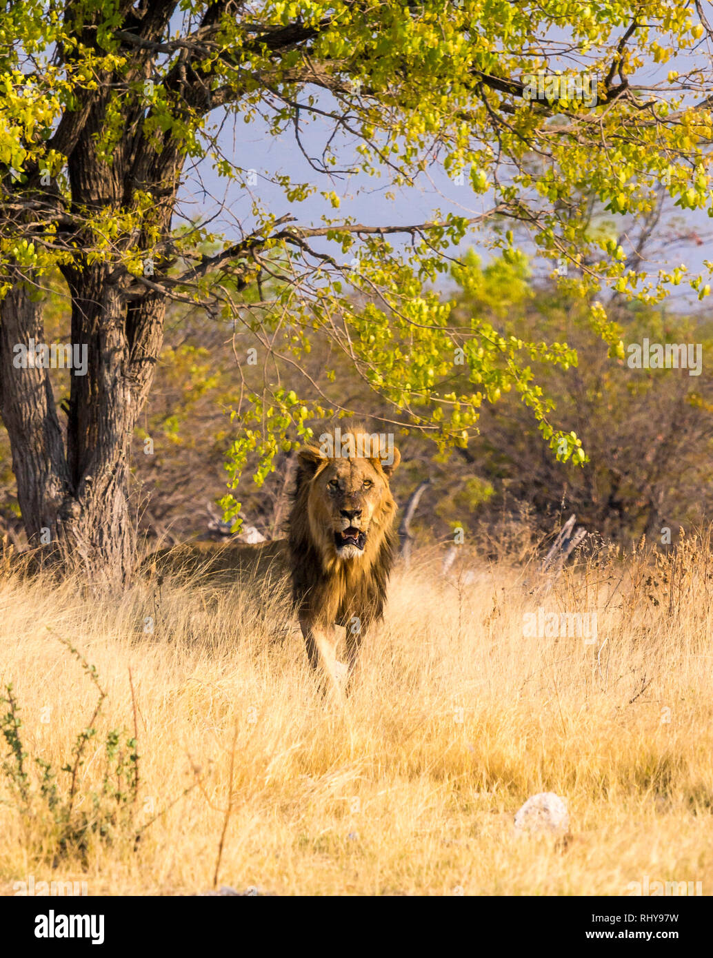 we found a freshly killed young elephant and waited there for at least an hour. suddenly this big male lion stood up en encountered the carcass follow Stock Photo