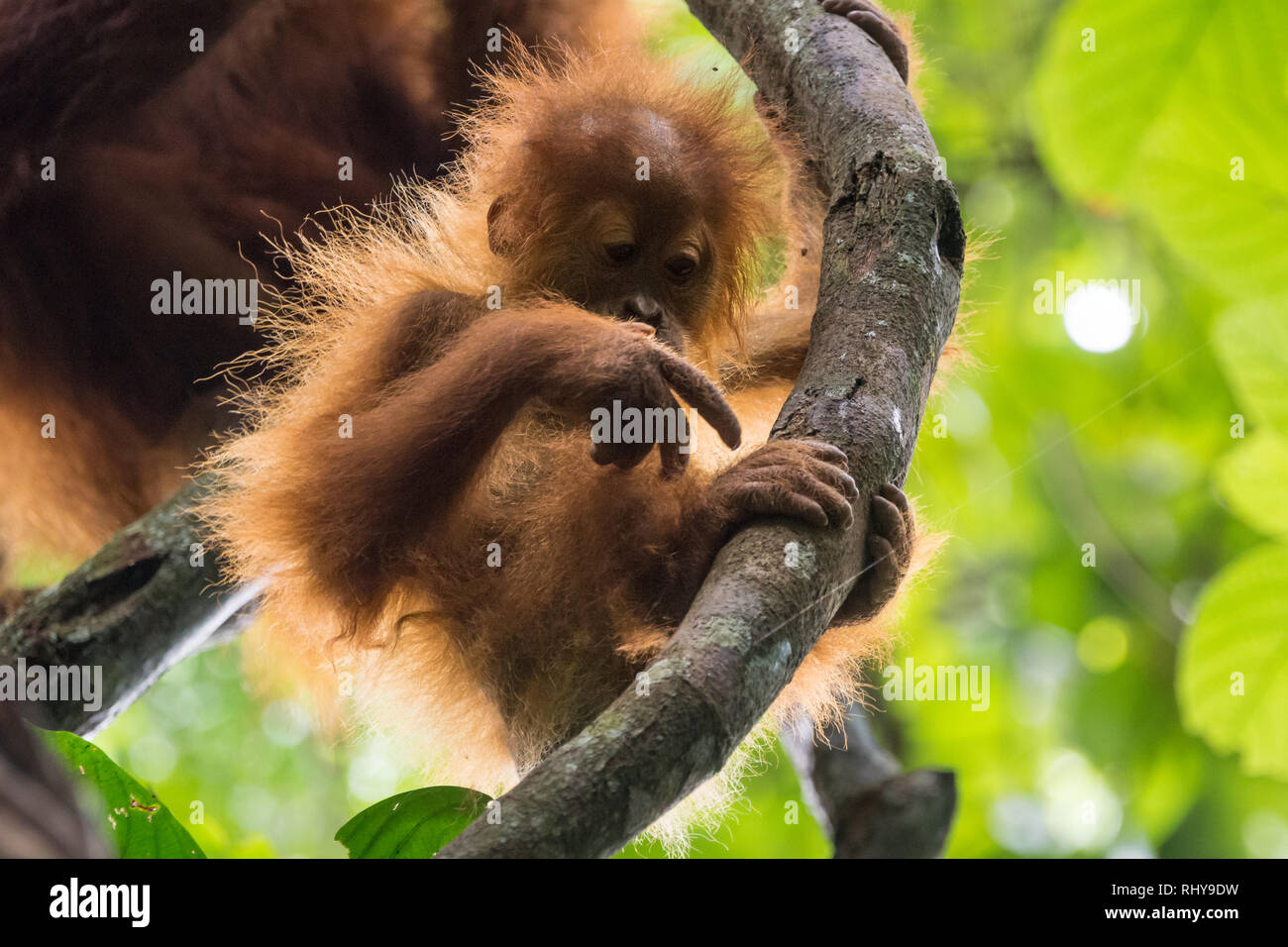 a cute baby orangutan in the Forests of Bukit Lawang on Sumatra Stock Photo
