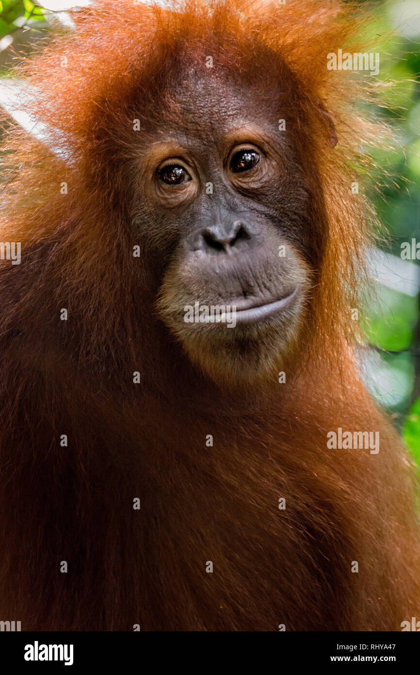 a orangutan in the Forests of Bukit Lawang on Sumatra Stock Photo