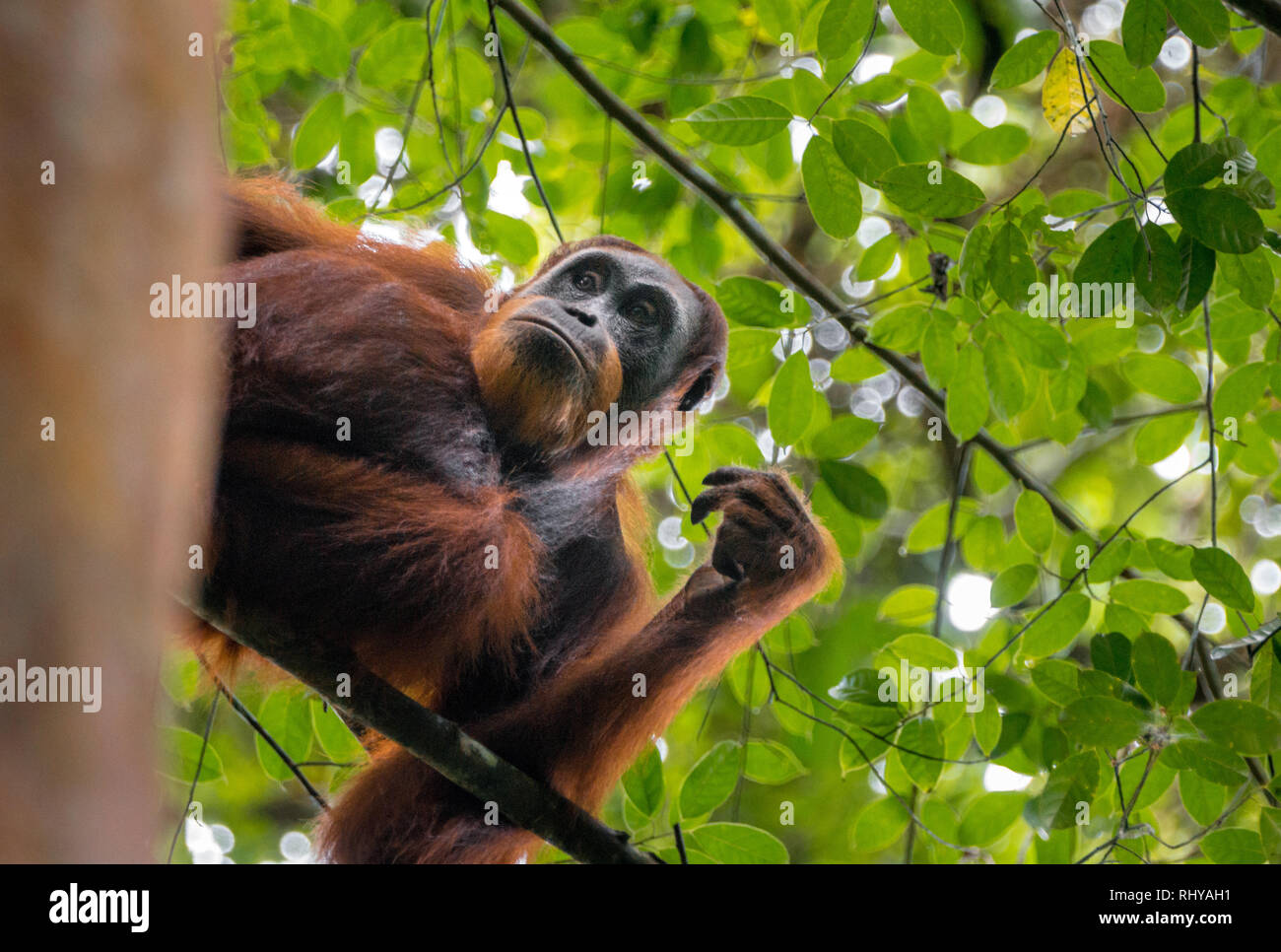 a orangutan in the Forests of Ketambe on Sumatra - Stock Image