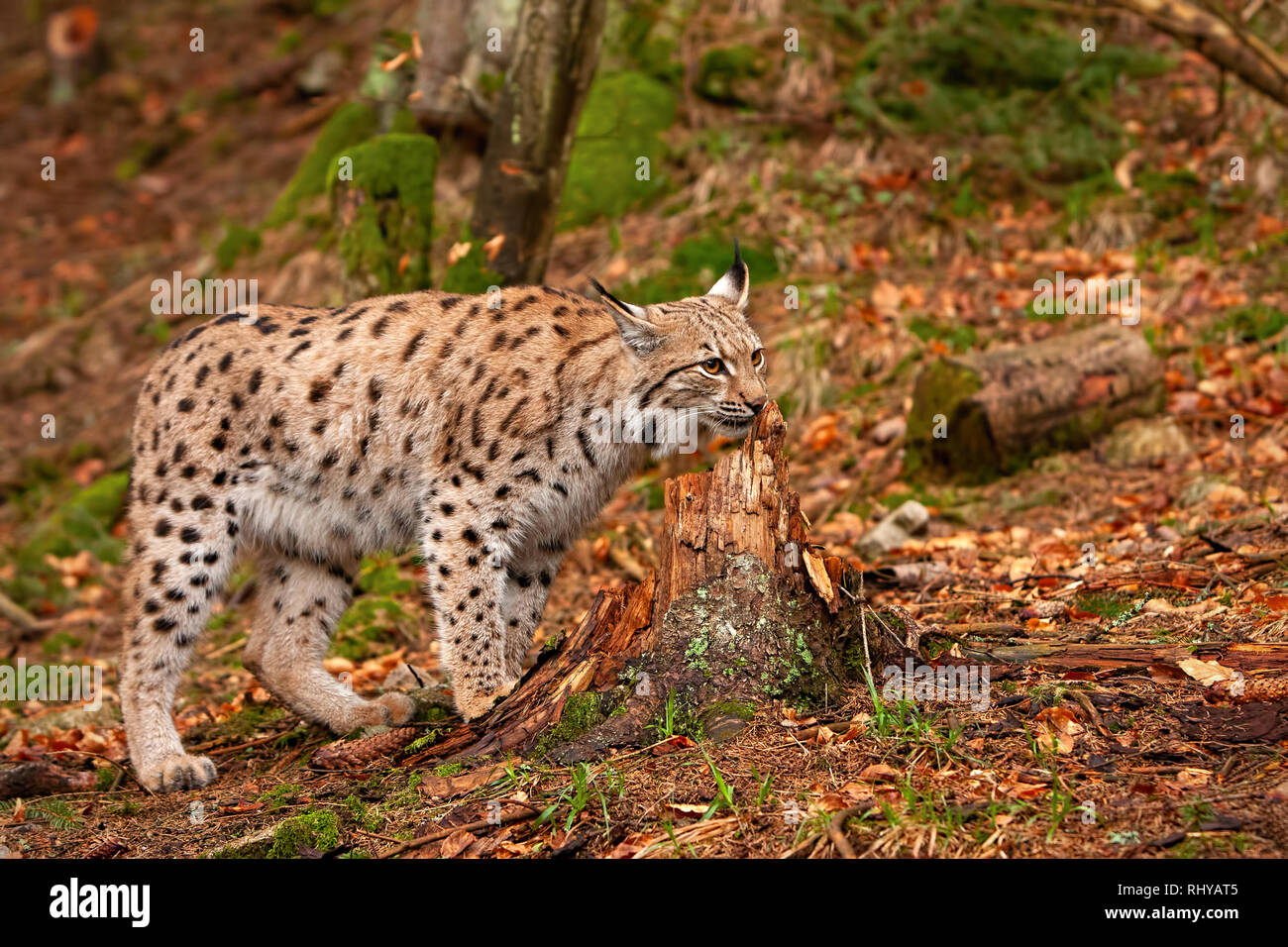 Eursian lynx in autmn forest with blurred background. Stock Photo