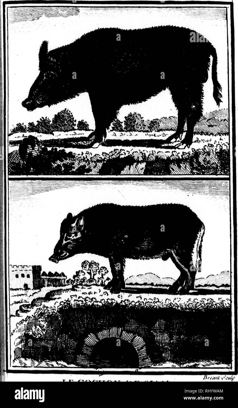 . Histoire naturelle, générale et particulière [microforme]. Sciences naturelles; Natural history. ïlw^ FI LE SANGLIEîl y». doSN^'x. LE COCHON DE ÎSIAM I!  ii ' I. Please note that these images are extracted from scanned page images that may have been digitally enhanced for readability - coloration and appearance of these illustrations may not perfectly resemble the original work.. Buffon, Georges Louis Leclerc, comte de, 1707-1788. A Paris : De l'Imprimerie royale - Stock Image