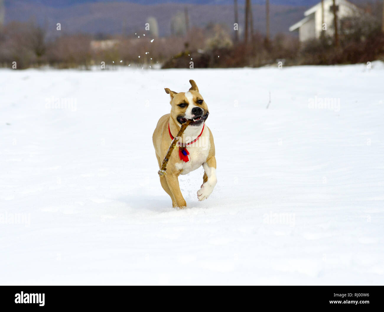 amstaff breed dog running on the snow with piece of wood in mouth, image - Stock Image