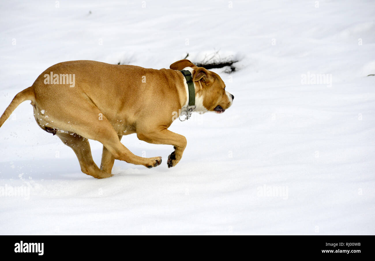 amstaff breed dog running on the snow, image - Stock Image