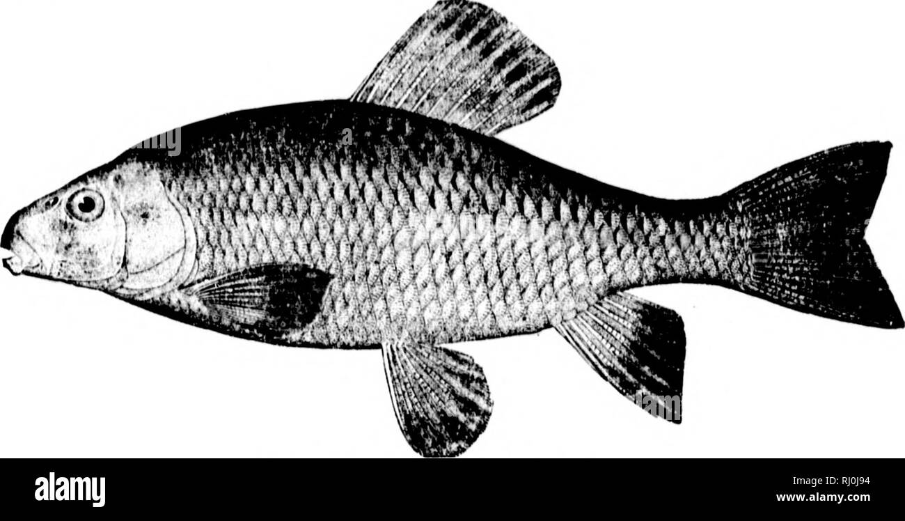 """. American fishes [microform] : a popular treatise upon the game and food fishes of North America, with especial reference to habits and methods of capture. Fishes; Fishing; Poissons; Pêche sportive. 4;/j A}rFRrCAX F/S/fES. I have never found this fish in really muchly water. Althongh called the """" Mud Sucker"""" in tlie brooks, it is most characteristically a fish of the running streams. This species reaches a length of about two feet, and is often caught in its spawning season by means of a spear or snare. It is, like C. (•omiiit'rsoiii, a '* boy's fish."""" and not worth the eating. - Stock Image"""