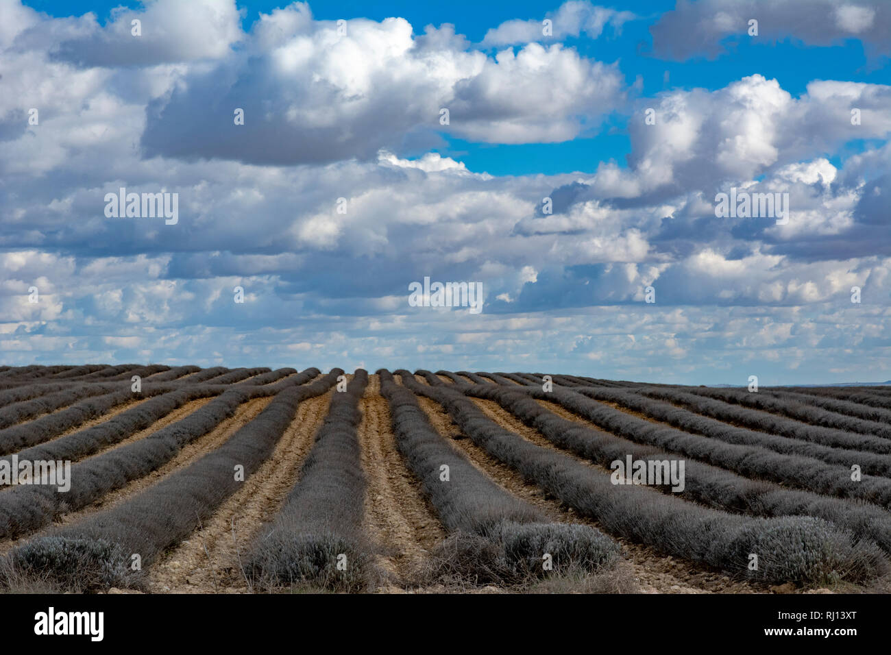 Provencal landscape with lavandula fields  in wintertime, Provence, Southern France, Europe Stock Photo