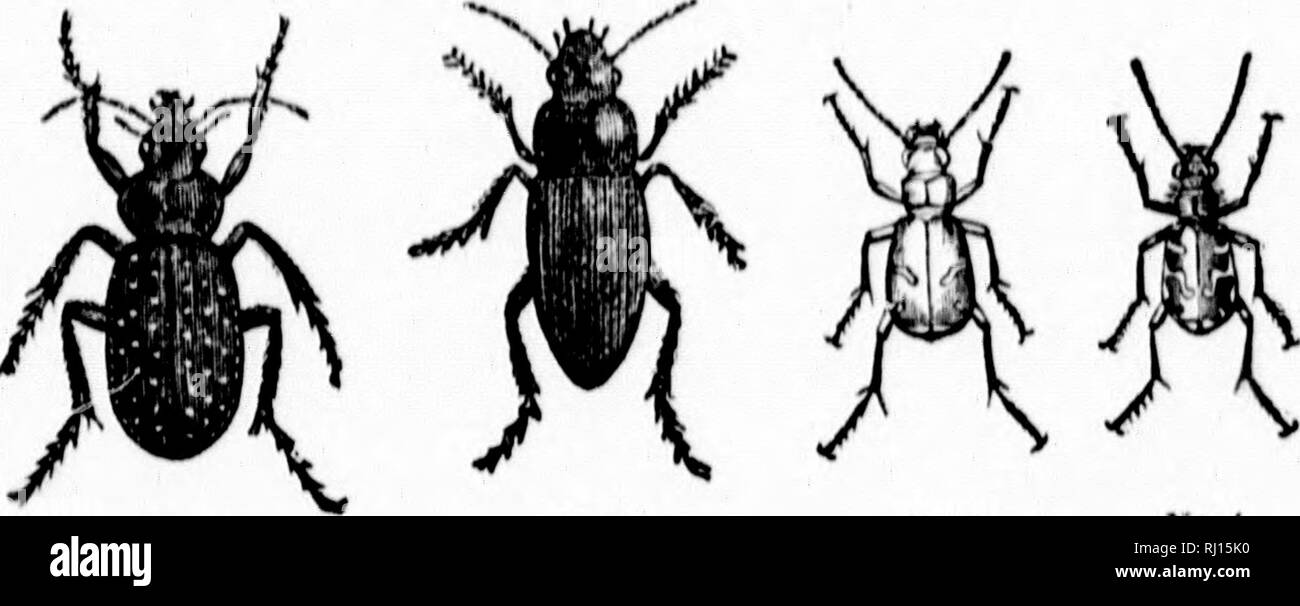 . Some of the insects that frequent the orchard and garden [microform] : under what circumstances they increase unduly; what insects to spare; what to kill, and how to kill them; with other useful information. Insect pests; Insectes nuisibles, Lutte contre les. T V. time tl.f farmers of Rlioilc Island having wa^pd snci-ossful war BRainst 111.' Turpi.- r.rackl.' wen; broiih'ht to s.'f tlu' Lilly â llu- rapid iiuTi-asi; of llit; khiI'-* f Melol.mtliadx'. and olluT lu'.llcs. which destroyed their mead.>wH hy lonsiiinins? the roots of the grasses, renderiuK' it necessary for them to imjiort hay - Stock Image