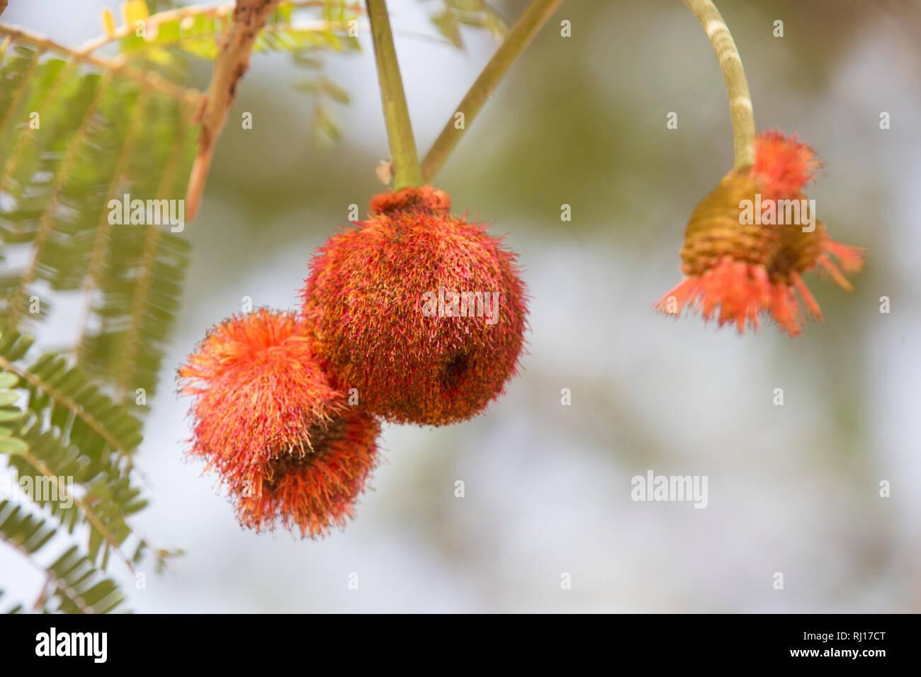 La-toden village, Yako Province, Burkina Faso. Fruit of the Dawadawa tree. - Stock Image