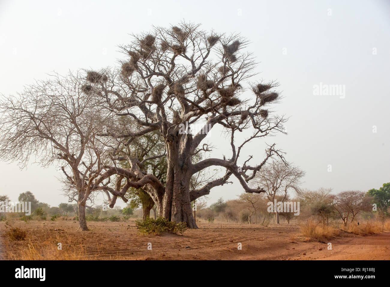 Yako Province, Burkina Faso; A baobab tree with bird nests on the road from Yako town to Samba. - Stock Image