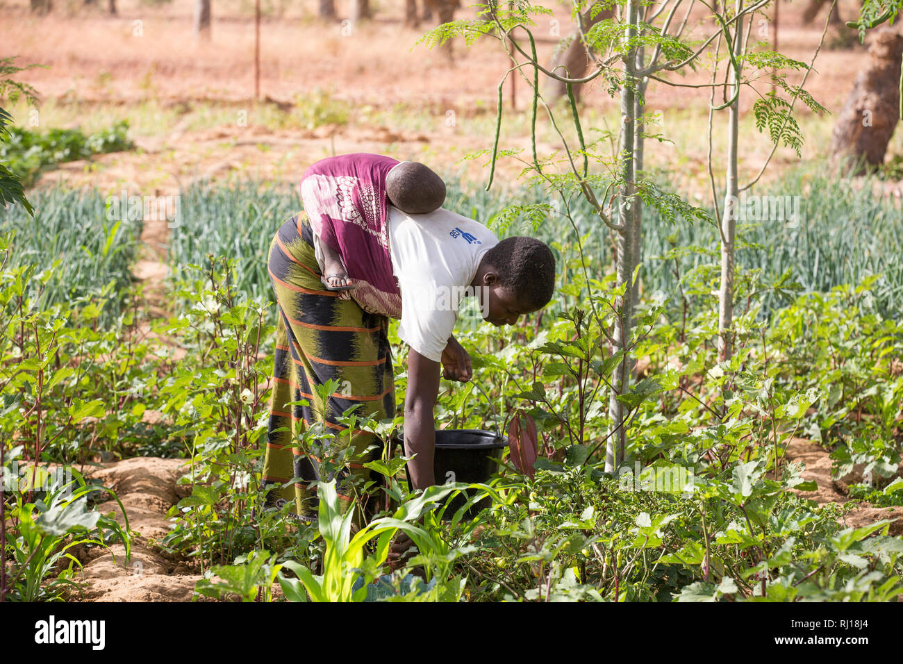 Samba village, Yako Province, Burkina Faso : Collette Guiguemde working in her husband's market garden, harvesting okra. Stock Photo