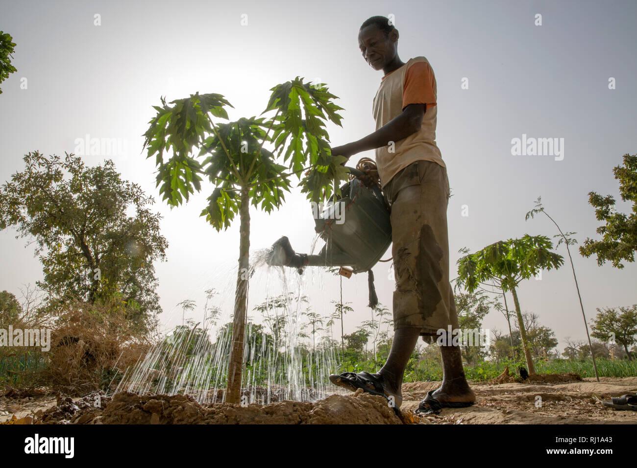 Samba village, Yako Province, Burkina Faso: Denis Zoundi, 45, husband of Collette Guiguemde, watering a small papaya tree on his market garden. - Stock Image