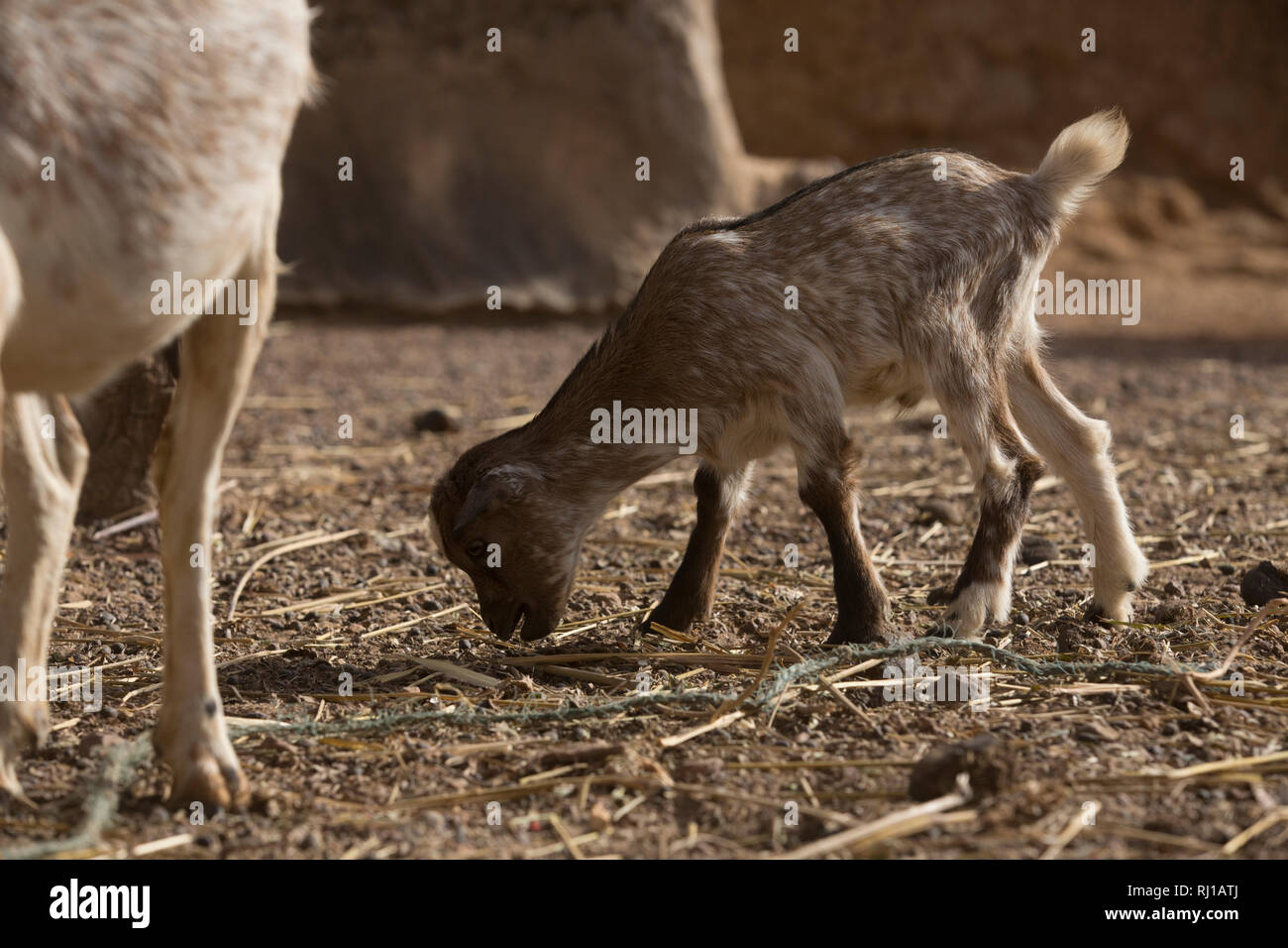 Kourono village, Yako province, Burkina Faso; A young goat kid recently born on Moussa Mande's farm. He is a Tree Aid goat project beneficiary. Stock Photo