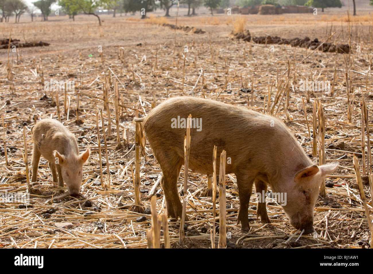 Kourono village, Yako province, Burkina Faso; Moussa Mande, 54, goat project beneficiary, also has pigs. Stock Photo
