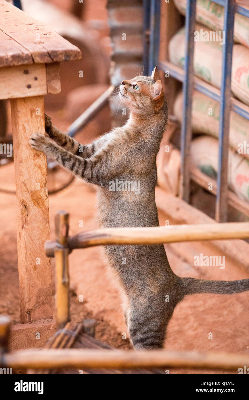 Yako town, Burkina Faso: a stray cat looking for opportunities for food   on a table outside a local shop. Stock Photo