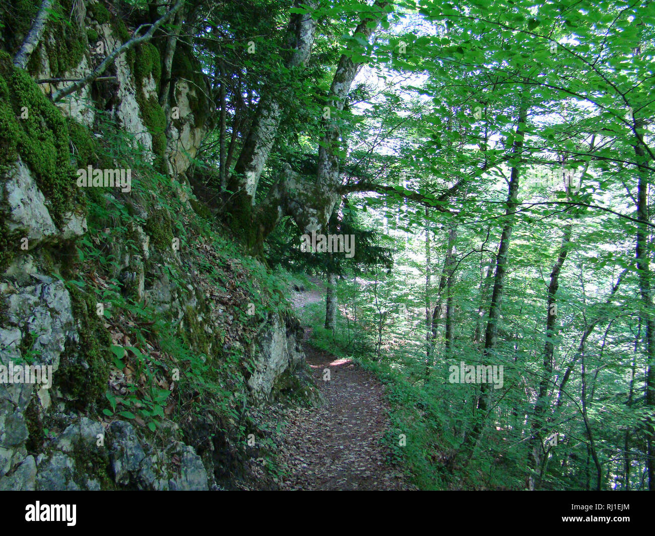 Beech forests in Olympus national park (northeastern Greece), one of the last remnant habitats of the brown bear (Ursus arctos) in Europe - Stock Image